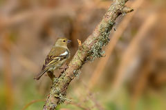 Female Common Chaffinch - Fringilla coelebs Royalty Free Stock Photography