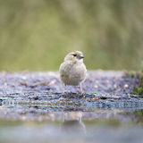 Female common chaffinch Stock Images