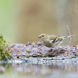 Female common chaffinch Royalty Free Stock Photo