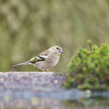 Female common chaffinch. At the ground Royalty Free Stock Image