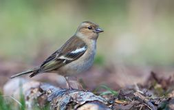 Female Common Chaffinch posing on rotten birch branch near the earth in clear wood royalty free stock photography