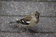 Female common chaffinch. A female common chaffinch searching for food on the ground Royalty Free Stock Image