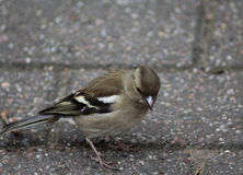Female common chaffinch. A female common chaffinch searching for food on the ground Stock Photos