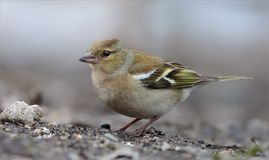 Female Common chaffinch in spring on the earth royalty free stock image