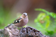 Female common chaffinch. On tree trunk Stock Images