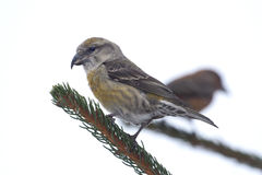 Female Common Crossbill (Loxia curvirostra). The Common Crossbill (Loxia curvirostra) on a white background. It is a small passerine bird in the finch family Stock Photos