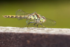 Female Common Darter Royalty Free Stock Images