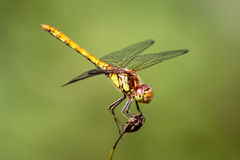 Female common darter dragonfly looking up Royalty Free Stock Photos
