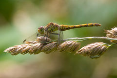Female Common Darter dragonfly on seed head. A Female Common Darter dragonfly, Sympetrum striatum, resting on seed head royalty free stock photography