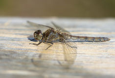 Female Common Darter Dragonfly stock photo