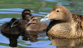 Female of Common Eider with chickens Stock Images