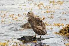 Female of  Common eider(Somateria mollissima) Royalty Free Stock Photography