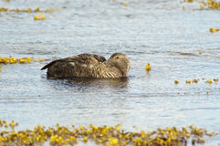 Female of  Common eider(Somateria mollissima) Royalty Free Stock Images