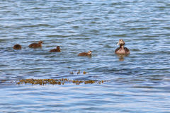 Female common eider, Somateria mollissima, with four ducklings. Swimming in the North sea. Photo taken at West Sands, St Andrews, Fife, Scotland Stock Images