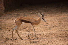 A female common eland antelope walking across the dry land Royalty Free Stock Photography