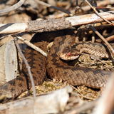 Female common european adder. Basking ( Vipera berus Royalty Free Stock Photo