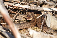 Female common european adder in situ Stock Images