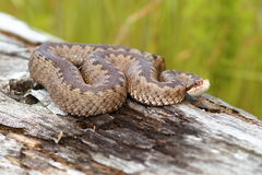 Female common european adder on stump. Female common european crossed adder basking on stump ( Vipera berus Royalty Free Stock Photography