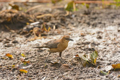 Female Common Grackle in the Swamps Royalty Free Stock Photography