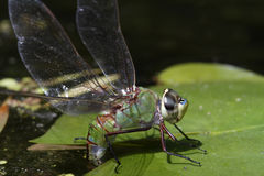 Female Common Green Darner Depositing Eggs in a Pond Royalty Free Stock Photography