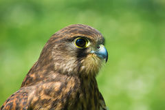 Female Common Kestrel Stock Images