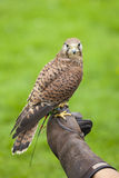 Female Common Kestrel on Falconry Glove Stock Images