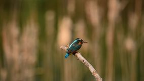 Female Common Kingfisher 4 Stock Image