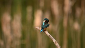 Female Common Kingfisher 3 Stock Images