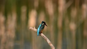 Female Common Kingfisher Stock Photography
