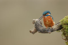 Female common kingfisher c alling and looking down Stock Image