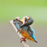 Female Common Kingfisher Royalty Free Stock Photography