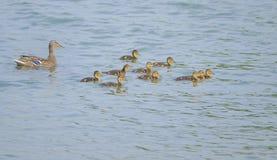 Mallard family. A female Common Mallard and its children swim in river. Scientific name: Anas platyrhynchos Stock Photography