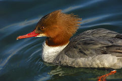 Female Common Merganser Stock Image