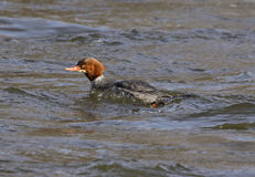 Female Common Merganser Stock Images