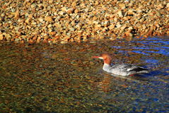 Female Common Merganser Merced River Royalty Free Stock Photography