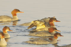 Female Common merganser Stock Photography
