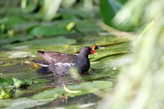 Female common moorhen Royalty Free Stock Images