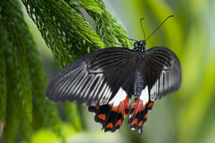 Female common mormon butterfly Royalty Free Stock Image