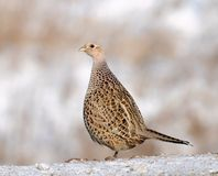 Female Common Pheasant Stock Images