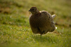 Female of Common Pheasant, bird with long tail on the green grass meadow, animal in the nature habitat, wildlife scene from German Royalty Free Stock Image