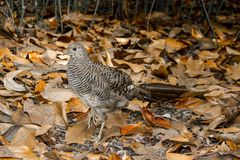Female common pheasant Phasianus colchicus. Female common pheasant on the ground covered in dry leaves Royalty Free Stock Images