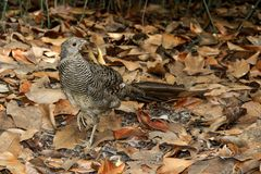 Female common pheasant Phasianus colchicus. Female common pheasant on the ground covered in dry leaves Royalty Free Stock Photo