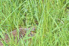 Female Common Pheasant sitting in its nest in grass. Pheasant female nesting in high grass Royalty Free Stock Photography