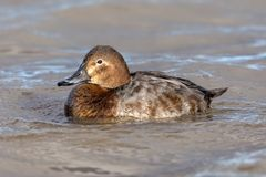 Female Common Pochard - Aythya ferina at rest on water. Stock Photography