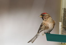 Female Common Redpoll Royalty Free Stock Image
