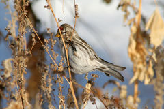Female Common Redpoll. A female Common Redpoll eating grains from dried brush during winter in Littlefork, MN Stock Photo