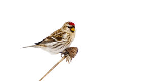 Female common redpoll perched, isolated on white. Stock Image