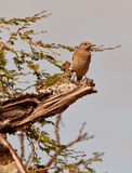 A female Common Rock Thrush Stock Image