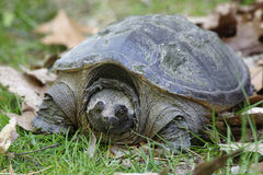 Female Common Snapping Turtle Royalty Free Stock Images