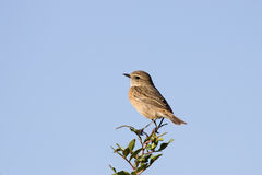 Female Common Stonechat On The Bush Stock Photos